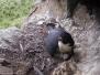 Nesting Peregrine falcon