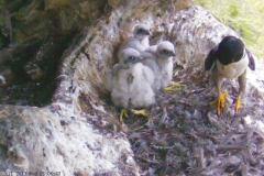 Peregrines - 6-11 November, third week