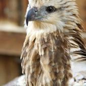 juvenile-sea-eagle