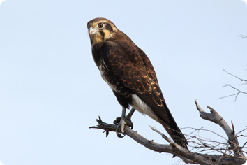brownFalconLarge