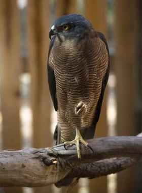 brownGoshawk