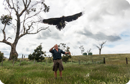 Released female Wedge-tailed Eagle