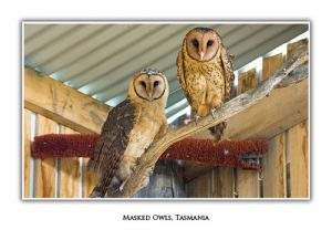 Masked Owl Pair Gift Card