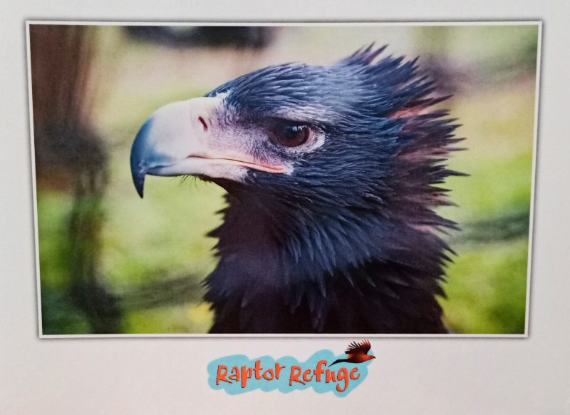 Wedge-tailed Eagle Gift Card
