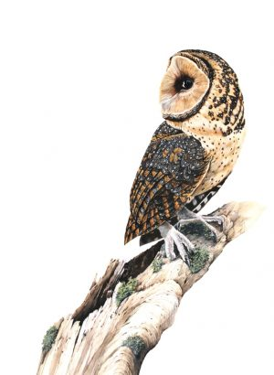 "Masked Owl ""Montgomery"" Print (signed by artist Katherine Cooper)"