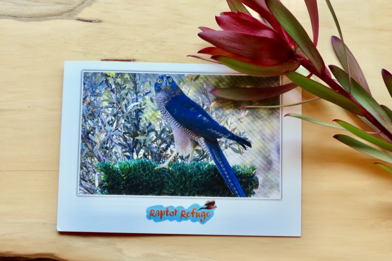 Brown Goshawk Gift Card 01
