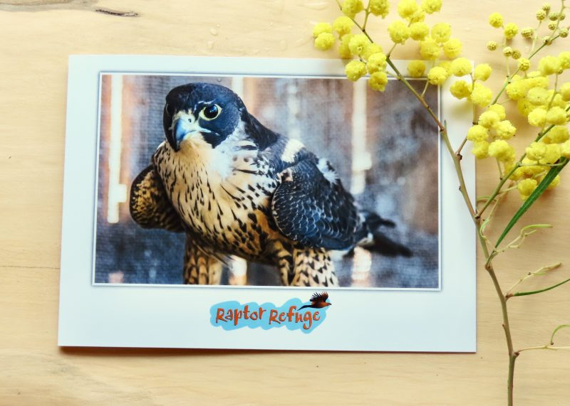 Peregrine Falcon Gift Card 01