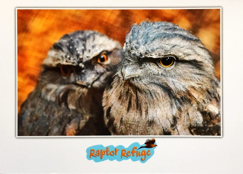 Tawny Frogmouth Gift Card 01
