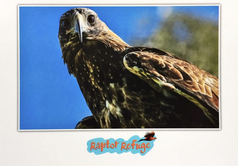 Wedge-Tailed Eagle Gift Card 04